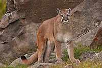 Cougar standing in front of a large boulder - CA