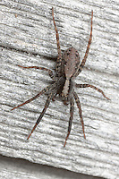Wolf Spider (Gladicosa pulchra) - Male on a log at the edge of a forested area, Ward Pound Ridge Reservation, Cross River, Westchester County, New York
