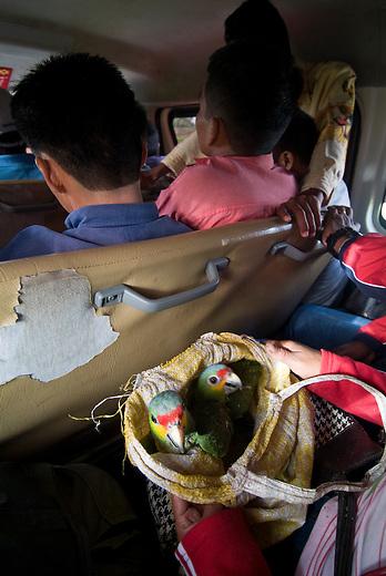 Guatemala, Petén, Mayan Biosphere Reserve, poaching of parrots in a bus leaving the Department El Petén.