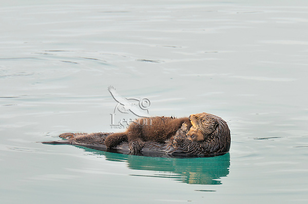 Alaskan or Northern Sea Otter (Enhydra lutris) mother caring for young pup.