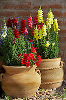 Snap dragons in pot in Tubac. Arizona