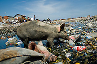 Pigs search for food in the rotten garbage around shacks in the slum of Cité Soleil, Port-au-Prince, Haiti, 11 July 2008. Cité Soleil is considered one of the worst slums in the Americas, most of its 300.000 residents live in extreme poverty. Children and single mothers predominate in the population. Social and living conditions in the slum are a human tragedy. There is no running water, no sewers and no electricity. Public services virtually do not exist - there are no stores, no hospitals or schools, no urban infrastructure. In spite of this fact, a rent must be payed even in all shacks made from rusty metal sheets. Infectious diseases are widely spread as garbage disposal does not exist in Cité Soleil. Violence is common, armed gangs operate throughout the slum.