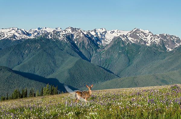 Columbian black-tailed deer (Odocoileus hemionus columbianus) doe in subalpine meadow with Olympic Mountains in background.  Olympic National Park, WA.  Summer.  Image from Hurricane Ridge.