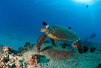 Green turtle ( chelonia mydas) with large tumors being cleaned by surgeonfish at Turtle Crater, Oahu, Hawaii, at a depth of 60 feet/20 metres.  Most turtles are carnivores which gradually convert to a vegetarian diet with age. All species of turtles are considered endangered.