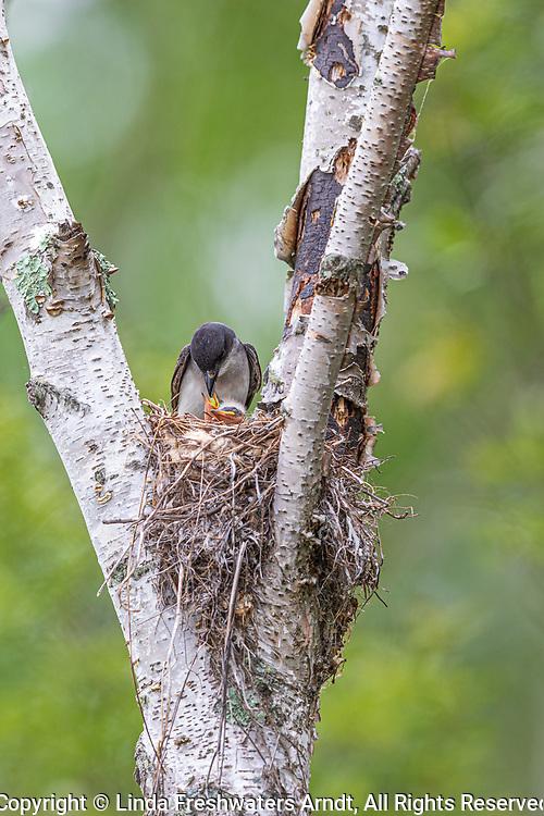 Eastern kingbird feeding chicks in northern Wisconsin.