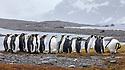 King Penguin (Mirounga leonina) colony at King Haakon Bay, South Georgia. November.