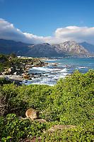Rock Hyrax on the coast near Hermanus, South Africa