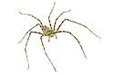 Lichen-mimicing Huntsman Spider {Heteropoda boiei} photographed on a white background in mobile field studio in tropical rainforest. Danum Valley, Sabah, Borneo, Malaysia.