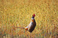 Male ring-necked pheasant (Phasianus colchicus) spring mating display--crowing.