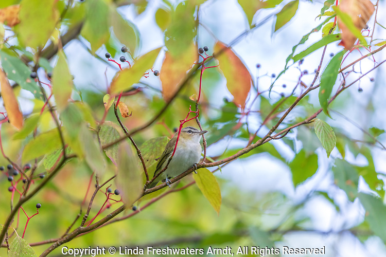 Red-eyed vireo in northern Wisconsin.