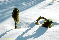 HS22-001a  Brussel Sprouts - in garden after snow fall - Jade Cross variety.