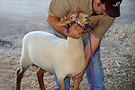 Sheep Show at Cheshire Fair in Swanzey, New Hampshire USA