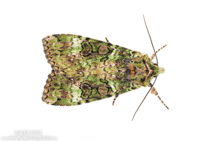 Green Arches (Anaplectoides prasina) photographed on a white background in mobile field studio. Isle of Mull, Scotland, UK. June. Focus stacked image.