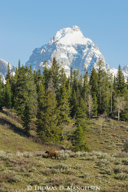 One of grizzly 610's subadult males walks  below the Grand Teton in Grand Teton National Park, Wyoming.