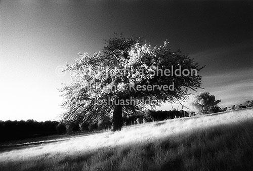 Budding single tree in open field<br />
