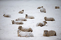 29/01/15<br /> <br /> Sheep covered in snow at Parsley Hay, near Hartington in the Derbyshire Peak District.<br /> <br /> All Rights Reserved - F Stop Press.  www.fstoppress.com. Tel: +44 (0)1335 418629 +44(0)7765 242650