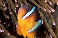 Clark's anemonefish, Amphiprion clarkii, Yawatano, Izu Peninsula, Japan, Pacific Ocean