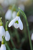 Galanthus nivalis 'Bitton'