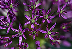 Allium bloom in Gardnerville, Nev., on Tuesday, May 8, 2018. <br /> Photo by Cathleen Allison/Nevada Momentum