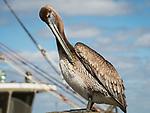 Brown pelican taken on a fishing dock located in Port st. Joe, FL.