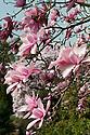 Magnolia campbellii x magnolia campbellii var. mollicomata in flower, late March.
