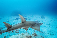 white-spotted shovelnose ray or guitarfish, Rhynchobatus djiddensis, Lady Elliot Island, Great Barrier Reef, Australia, Pacific Ocean