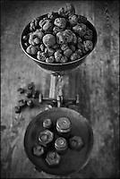 Europe/Europe/France/Midi-Pyrénées/46/Lot/Cahors: Truffes du Périgord ,Tuber Melanoporum, à la Maison Pebeyre - Pesée des truffes