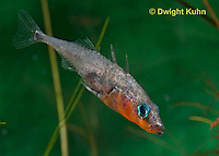1S12-513z   Male Threespine Stickleback stretching exposing sharp spines,  Mating colors showing bright red belly and blue eyes,  Gasterosteus aculeatus,  Hotel Lake British Columbia
