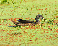 Male wood duck in non-breeding plumage in August