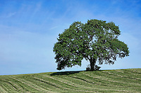 Lone mature tree on rural farm hill, Pennsylvania, USA