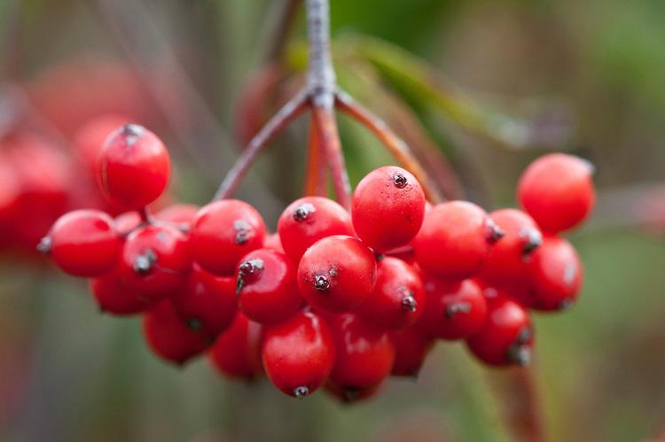 Red berries of tea viburnum (Viburnum setigerum), early October. A deciduous shrub native to China.