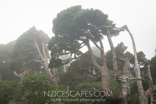 Mountain cedar and alpine vegetation in fog, Egmont National Park, North Island, New Zealand, NZ