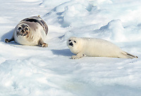 harp seal, Pagophilus groenlandicus, mother and pup laying on Ice floe, Magdalen Islands, Quebec, Canada, Gulf of Saint Lawrence, Atlantic Ocean