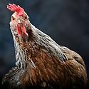 05/05/08 - LAMOTTE BEUVRON - LOIR ET CHER - FRANCE - Elevage avicole Poule Dorking argentee saumonee - Photo Jerome CHABANNE