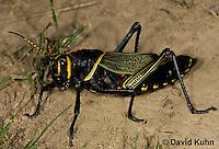 0913-0814  Adult Horse Lubber Grasshopper - Taeniopoda eques © David Kuhn/Dwight Kuhn Photography.
