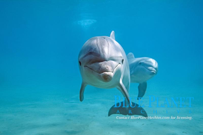 common bottlenose dolphin, Tursiops truncatus, Israel, Red Sea, Indian Ocean (de)