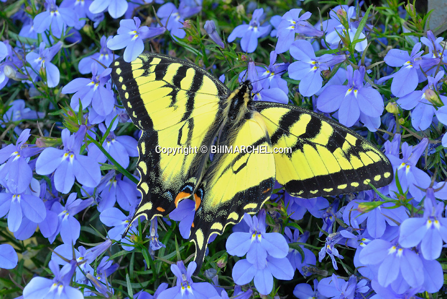 T35M:00861-001.01 Eastern Swallowtail Butterfly is perched on purple flowers.  Yellow, color.