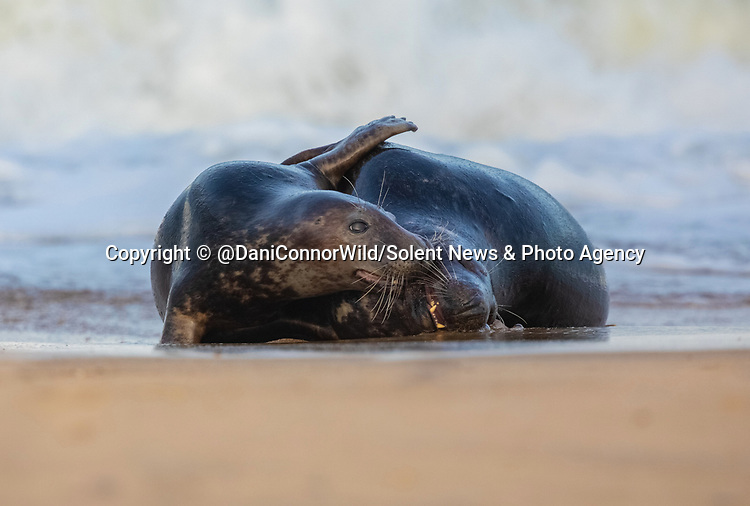 Pictured:  The pair having a cuddle<br /> <br /> Sealed with a kiss - two seals appear to smooch on a beach.  The pair touch whiskers as waves crash on the sand behind them.<br /> <br /> Up to 6,000 grey seals can be found gathered on Horsey Gap beach in Norfolk, England, where they congregate to give birth and mate during the winter months.  SEE OUR COPY FOR DETAILS.<br /> <br /> Please byline: @DaniConnorWild/Solent News<br /> <br /> © @DaniConnorWild/Solent News & Photo Agency<br /> UK +44 (0) 2380 458800