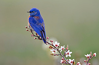 Male Western Bluebird (Sialia mexicana).   Columbia River Gorge National Scenic Area, Washington-Oregon..Early Spring.
