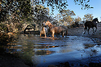 Horses come to a water hole at the Wild Horse Sanctuary where there are 300 horses on 5,000 acres that have been saved.