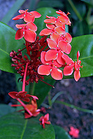 Flores. Ixora ( Ixora coccinea). SP. Foto de Manuel Lourenço.