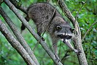 Raccoon (Procyon lotor).  Pacific Northwest.