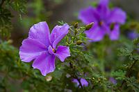 Alyogyne huegelii 'Swan River', Blue Hibiscus flowering in UC Santa Cruz Arboretum and Botanic Garden