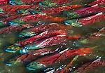 Sockeye Salmon, Alaska