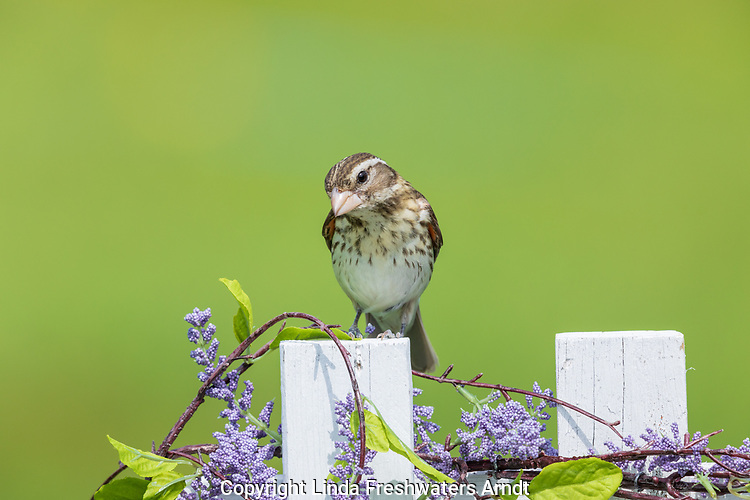 Female rose-breasted grosbeak perched on a backyard fence in northern Wisconsin.