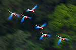 Group of Red-and-Green Macaws or Green-winged Macaws (Ara chloropterus) (Family Psittacidae) in flight over forest canopy. Chapada dos Guimarães, Brasil. (digitally modified)