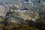 Alewife herring, Westbrook, Maine