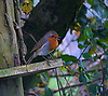 The European robin (Erithacus rubecula), known simply as the robin or robin redbreast in the British Isles, is a small insectivorous passerine bird, specifically a chat, that was formerly classified as a member of the thrush family (Turdidae) but is now considered to be an Old World flycatcher. About 12.5–14.0 cm (5.0–5.5 inch) in length, the male and female are similar in colouration, with an orange breast and face lined with grey, brown upperparts and a whitish belly. It is found across Europe, east to Western Siberia and south to North Africa; it is sedentary in most of its range except the far north.<br /> <br /> The term robin is also applied to some birds in other families with red or orange breasts. These include the American robin (Turdus migratorius), which is a thrush, and the Australasian robins of the family Petroicidae, the relationships of which are unclear. This one was seen in Llanafan which is near Aberystwyth in West Wales.<br /> <br /> Stock Photo by Paddy Bergin