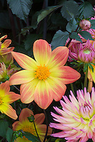 Dahlia Ossie Latham with pink and white cactus dahlia, and dark foliage, single orange and yellow flower