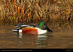 Northern Shoveler Male, Drake, Bosque del Apache Wildlife Refuge, New Mexico